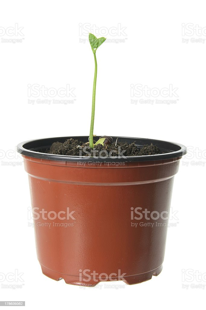 Young Plant in Pot royalty-free stock photo