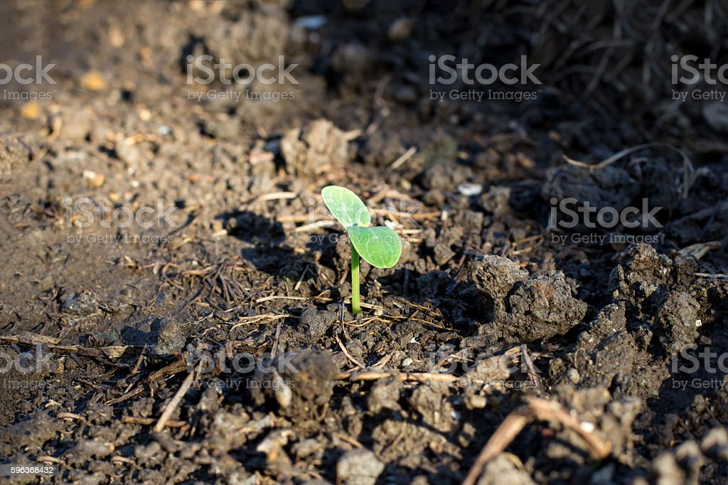 Young plant of Watermelon with Golden Light (Warm Tone) stock photo