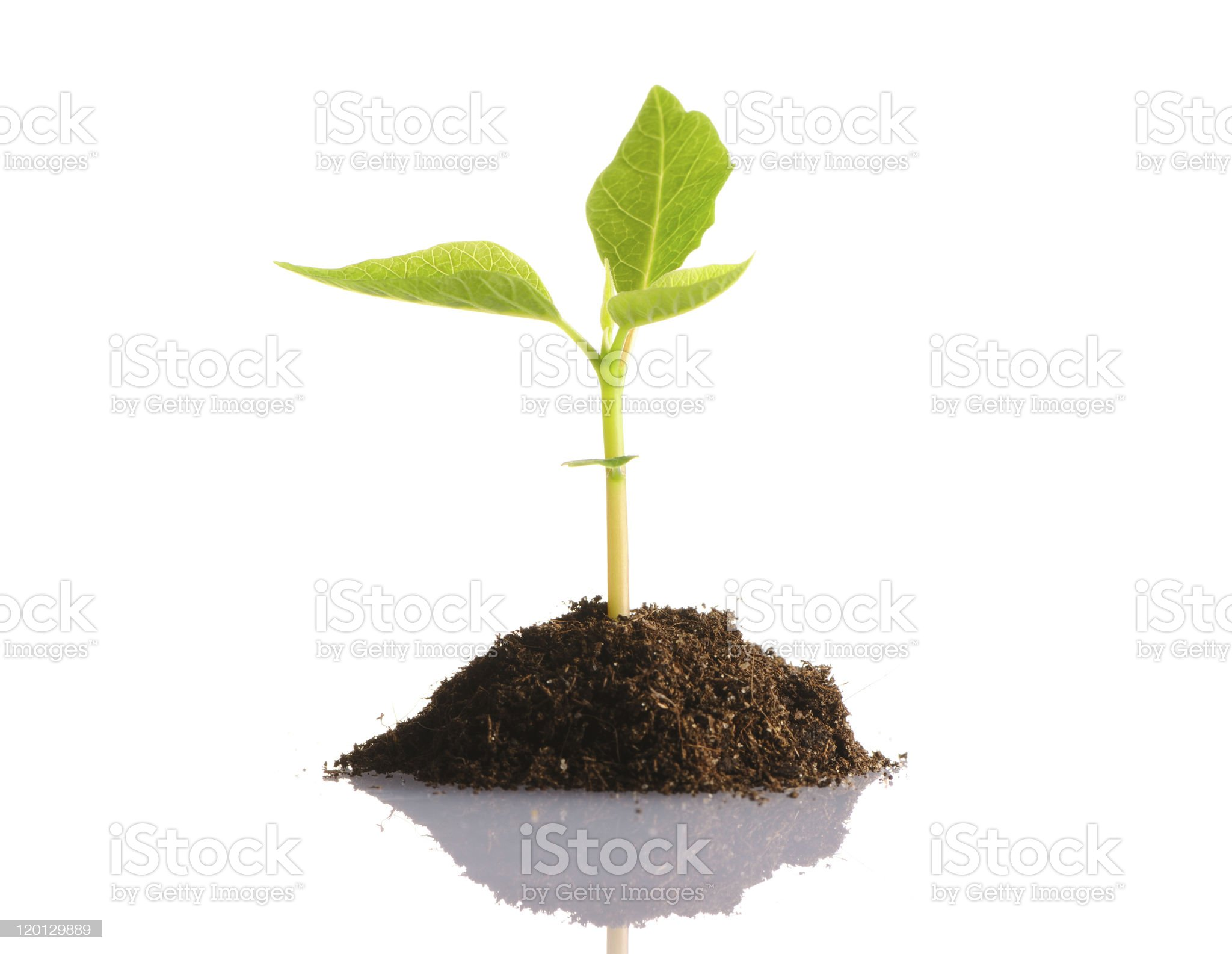 Young plant sprouting on a white background royalty-free stock photo