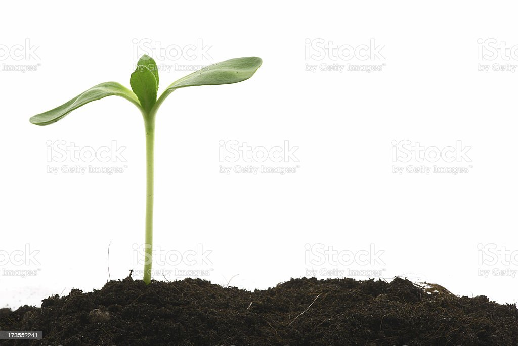 Young plant standing tall above the soil  stock photo