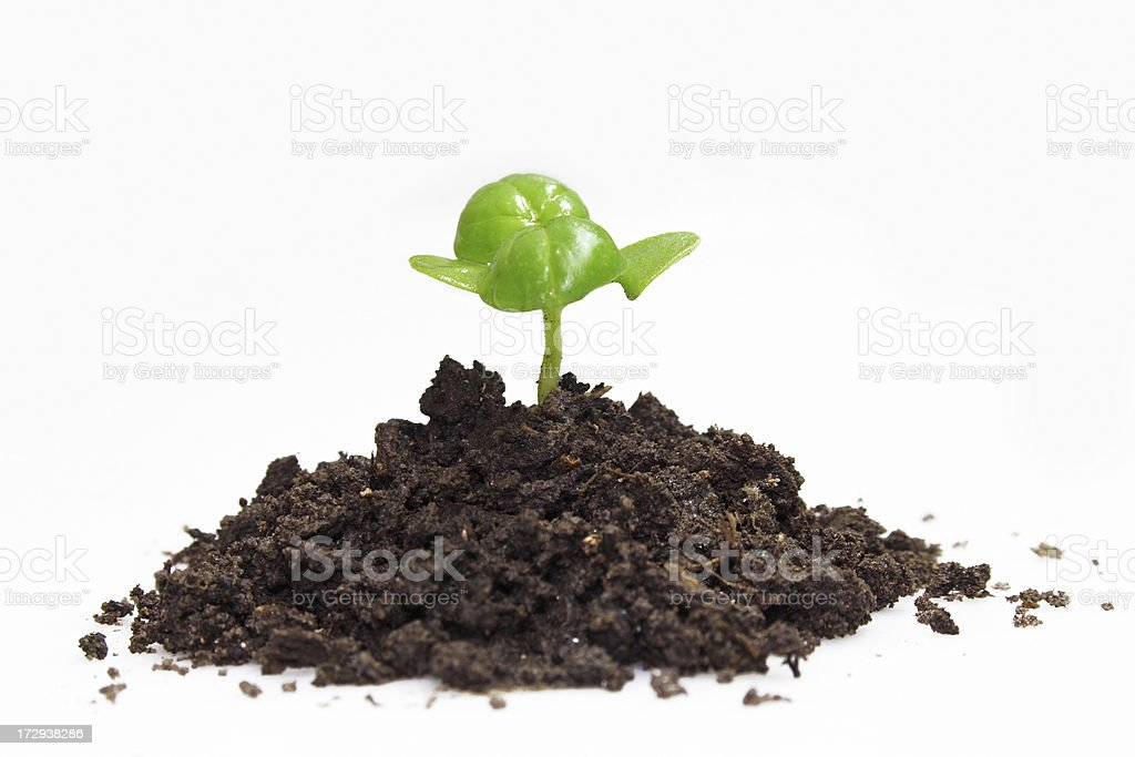 Young plant-basil royalty-free stock photo