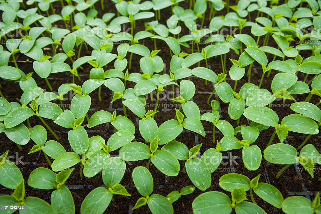 Young plants in greenhouse stock photo