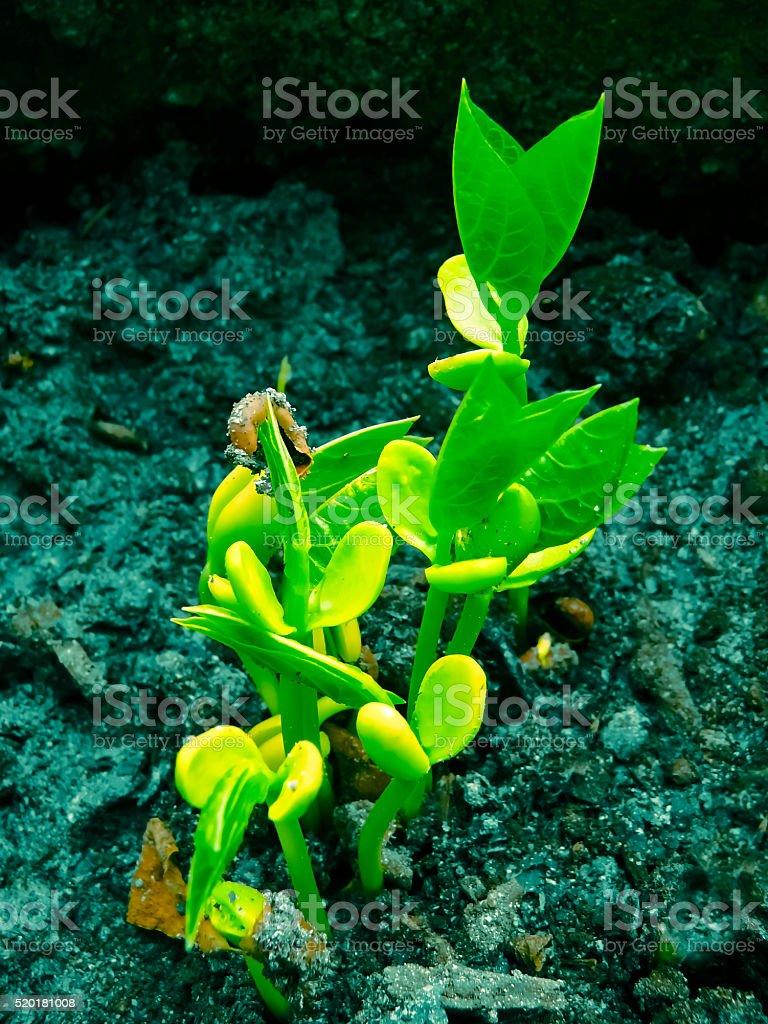 Young Plants of Bonavist bean, Cumandatiá, Dolichos lablab L. stock photo