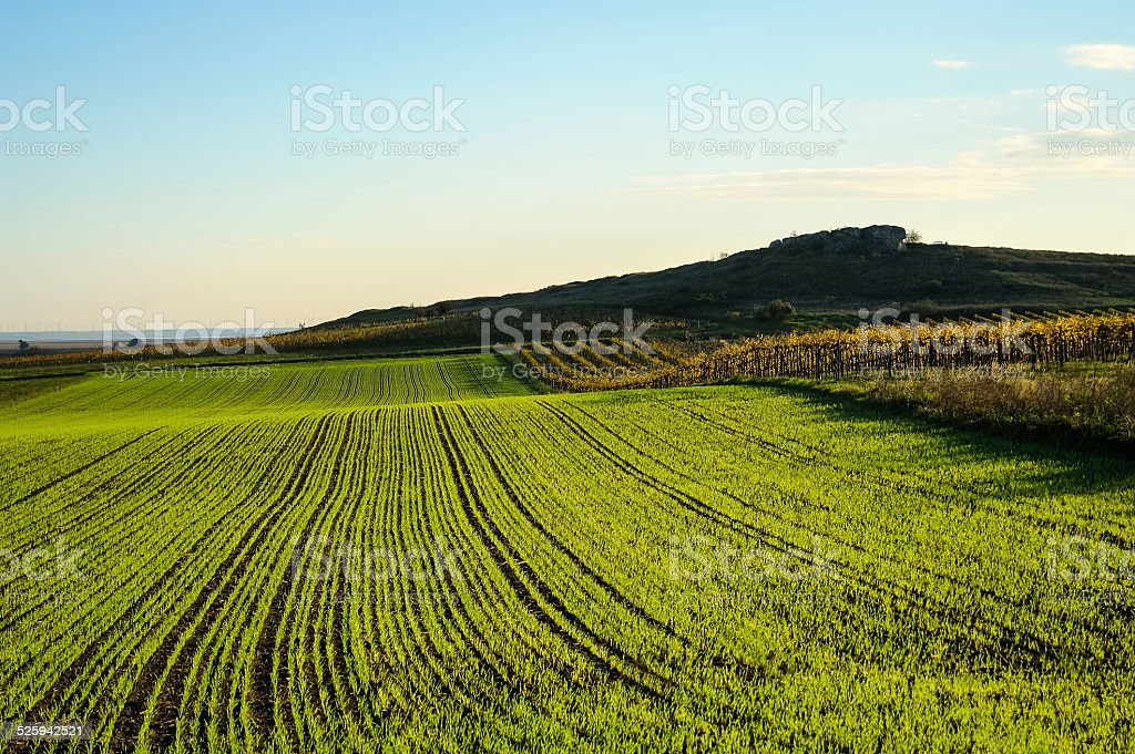 Young plants of cereals on the field stock photo
