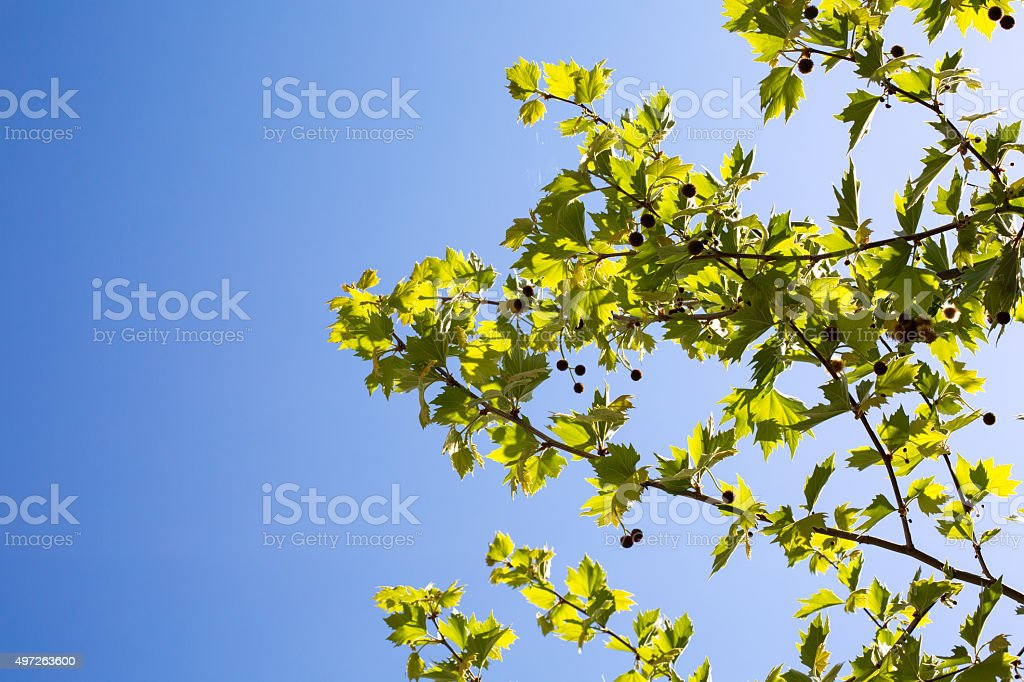 Young platan leaves and fruits on blue sky background stock photo