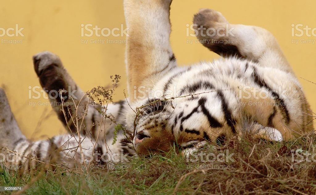 young playing tiger royalty-free stock photo