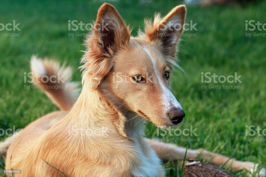 young podenco stock photo