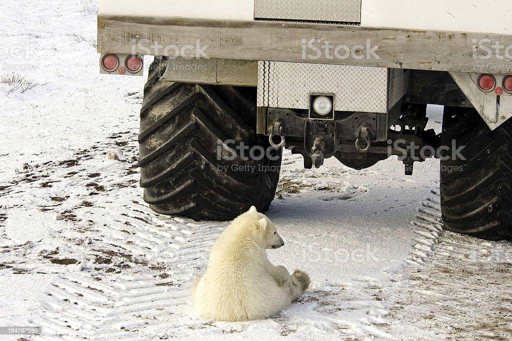 Young polar bear royalty-free stock photo