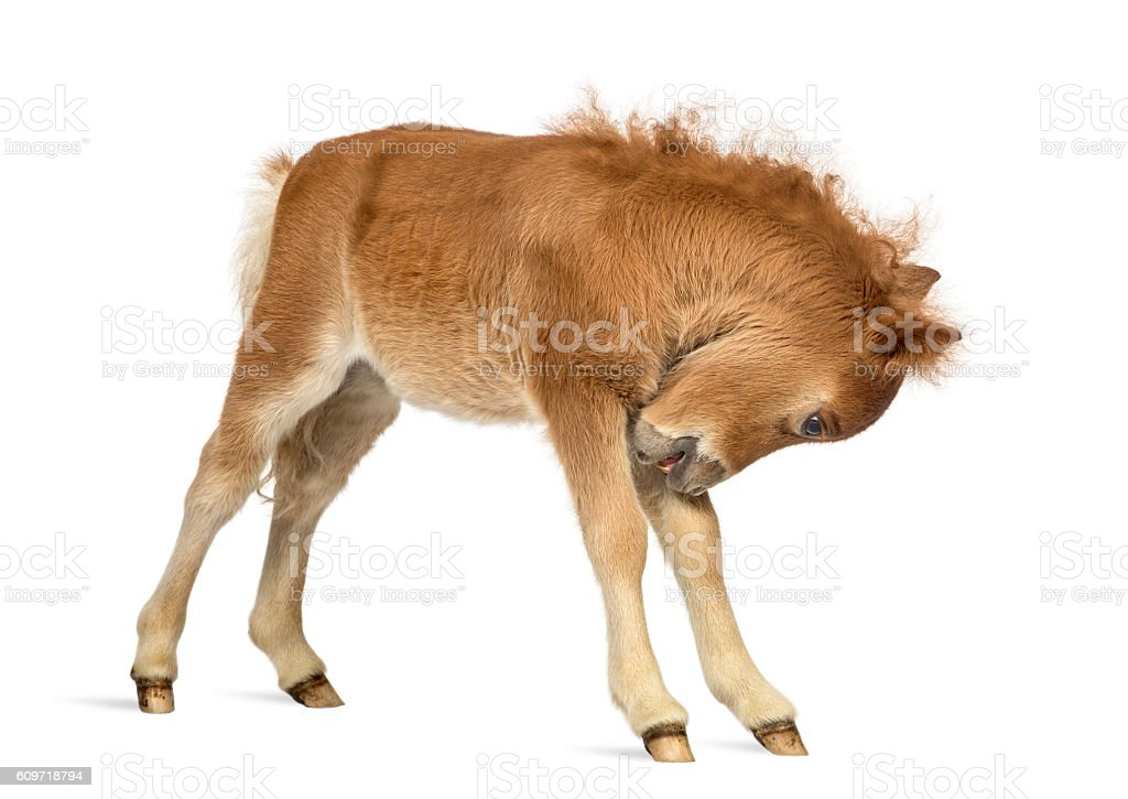 Young Poney scratching, foal against white background stock photo