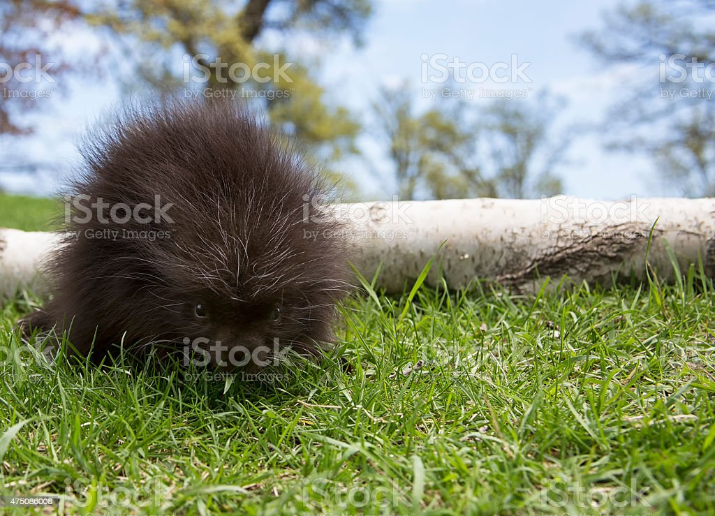 young porcupine stock photo