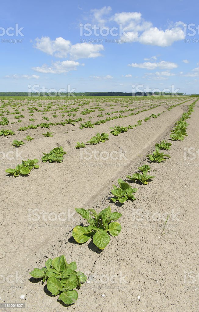 Young Potato plants royalty-free stock photo