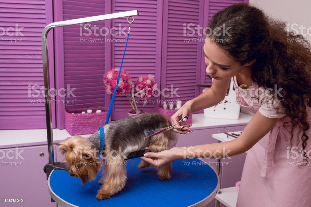 young professional groomer holding comb and scissors while grooming dog in pet salon stock photo