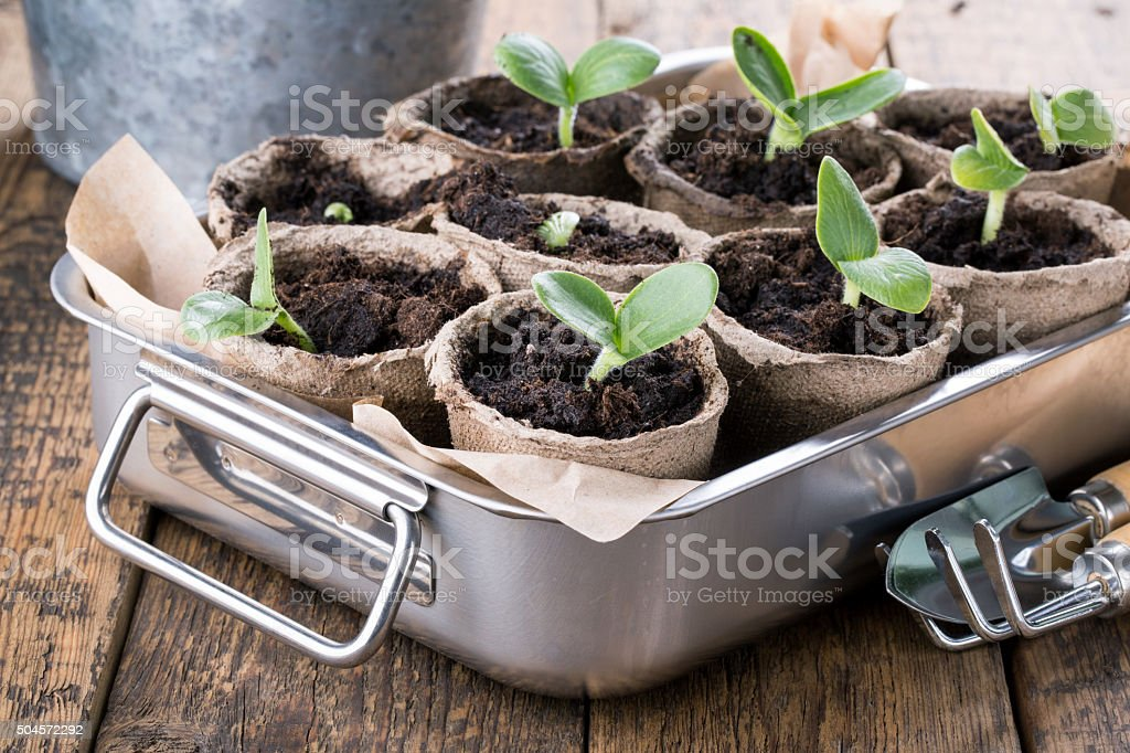 Young pumpkin sprouts stock photo
