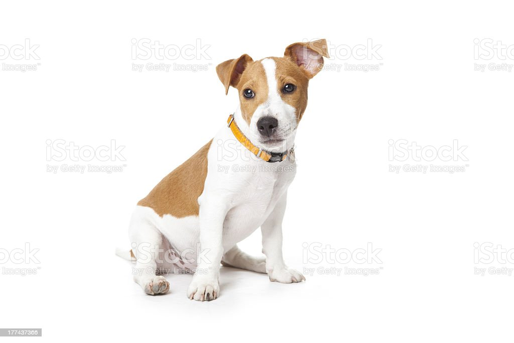 Young puppy stock photo