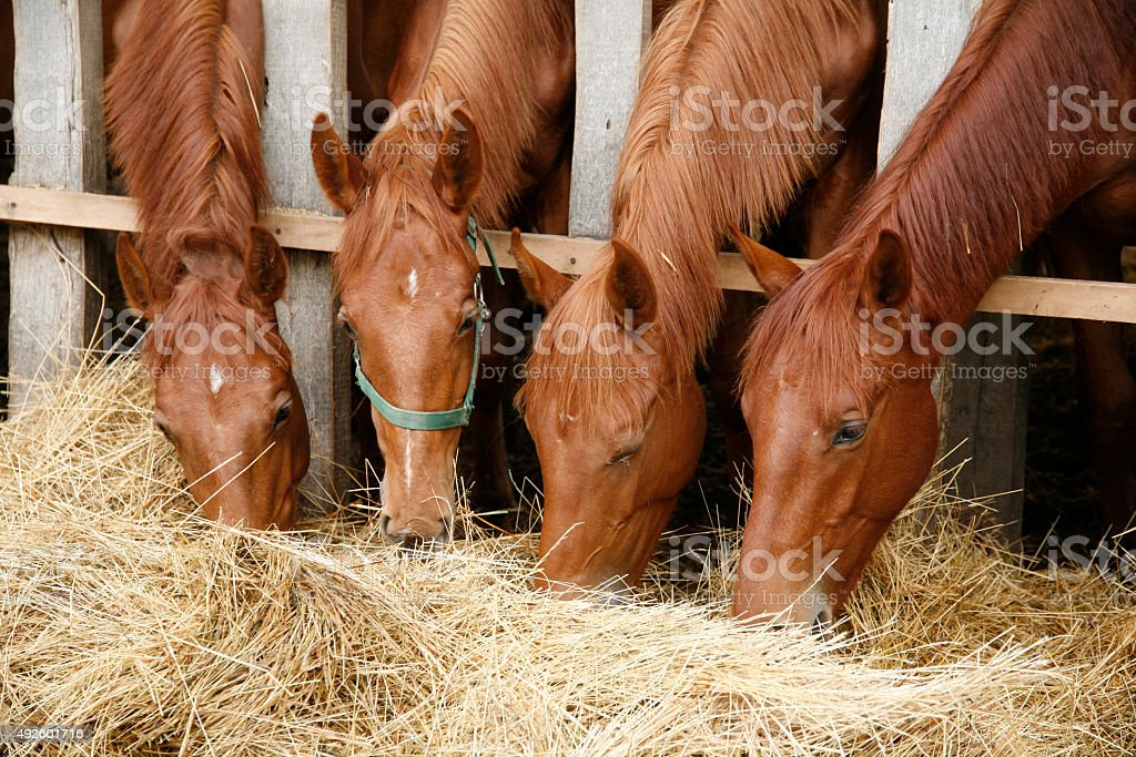 Young purebred foals sharing hay on horse farm stock photo