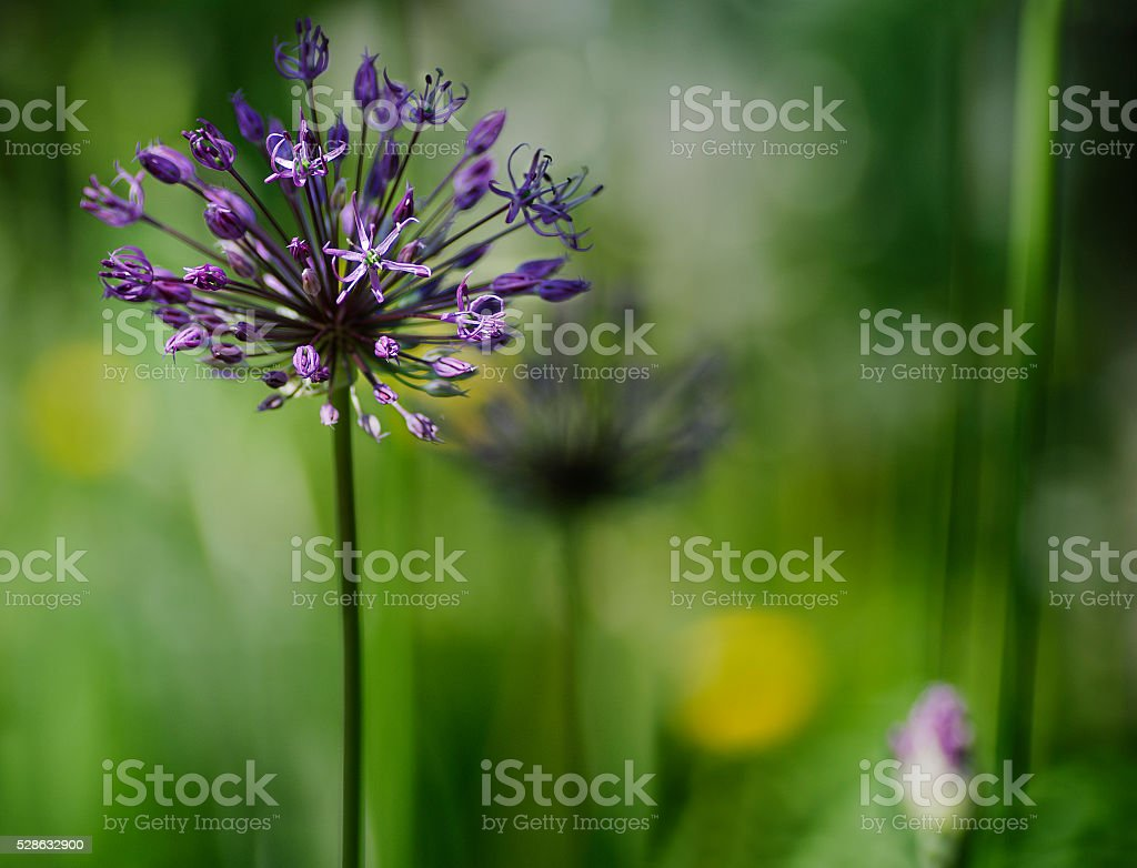 young purple colour decorative onions on the background of grass stock photo