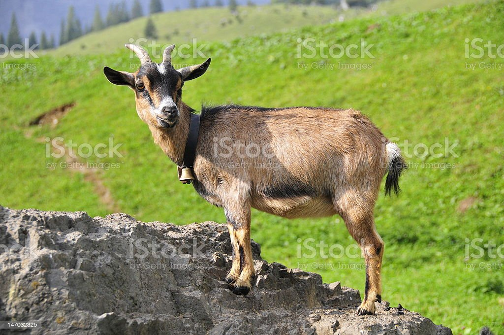Young Pygmy goat on rock stock photo