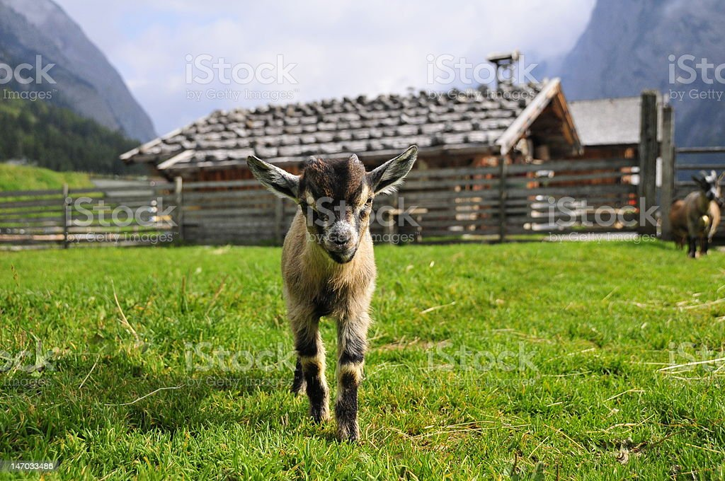 Young Pygmy goat stock photo