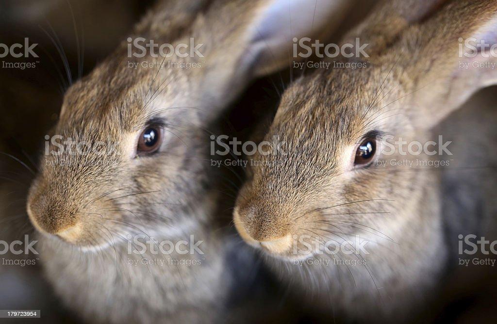 Young rabbit animal farm and breeding. royalty-free stock photo