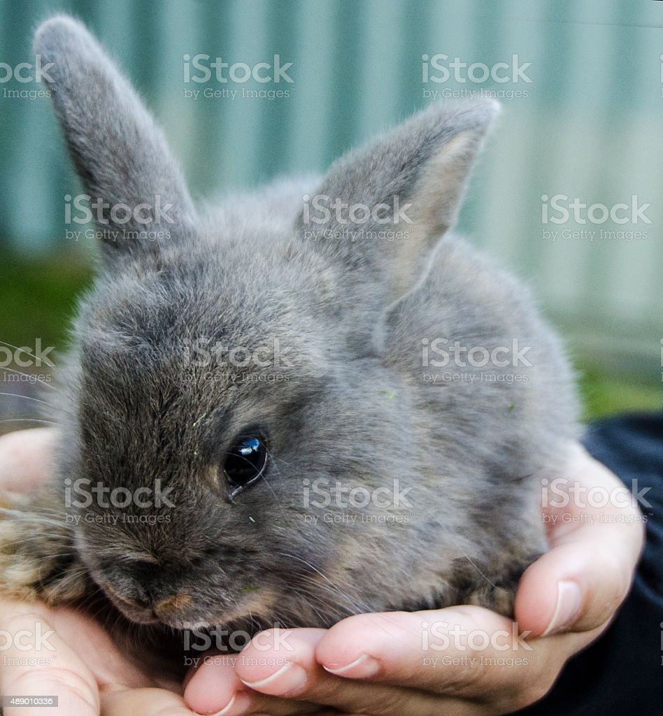 Young rabbit sitting in girls hands stock photo