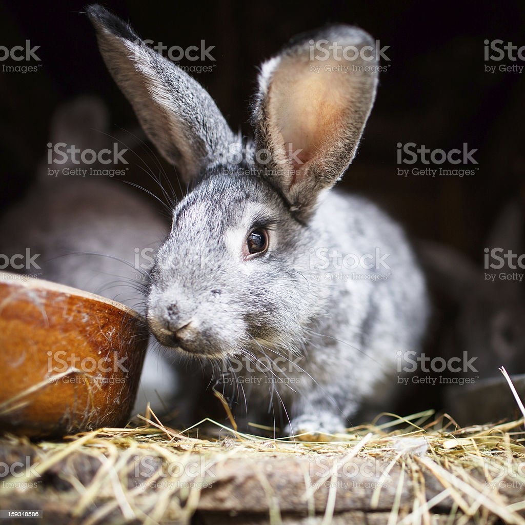 Young rabbits in a hutch (European Rabbit - Oryctolagus cuniculu royalty-free stock photo