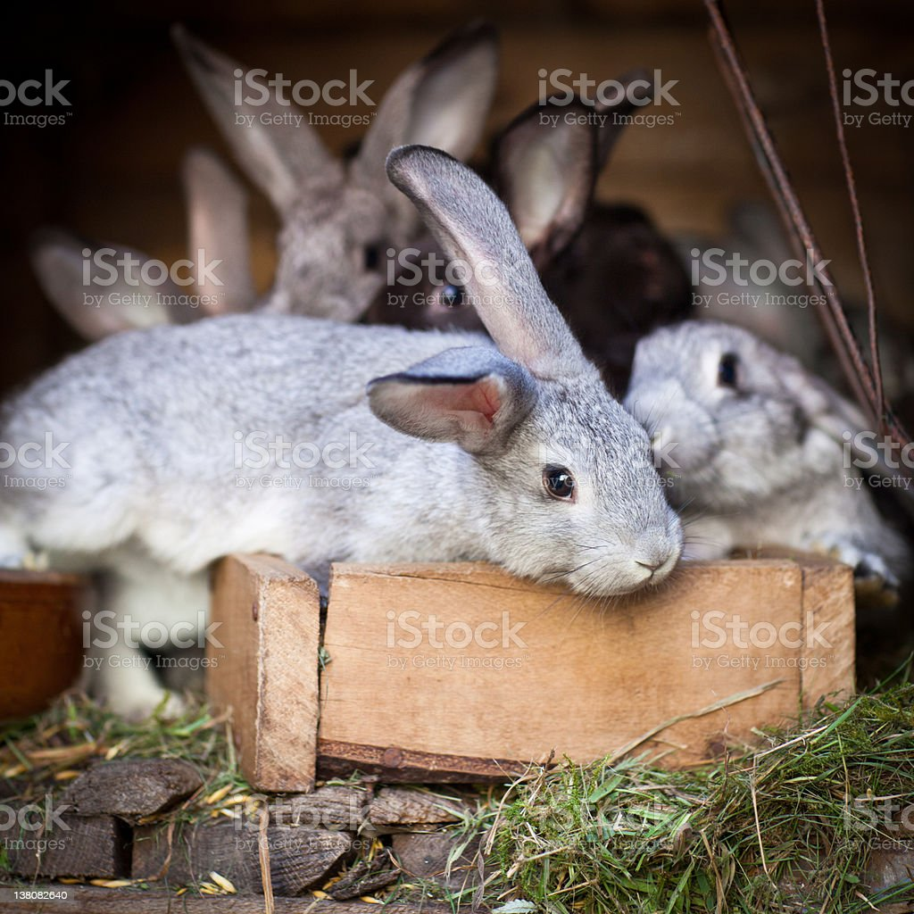 Young rabbits popping out of a hutch royalty-free stock photo