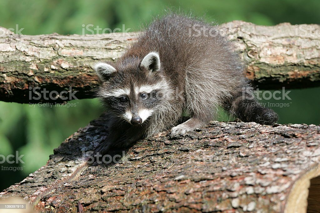 young raccoon climbing on a tree royalty-free stock photo