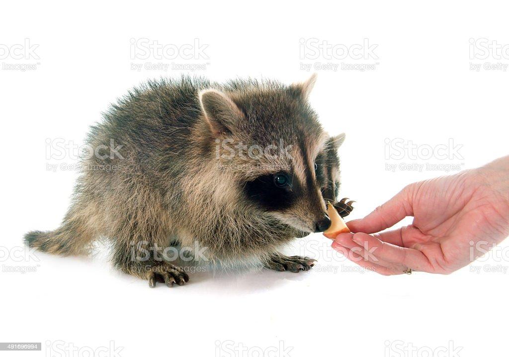 young raccoon eating stock photo