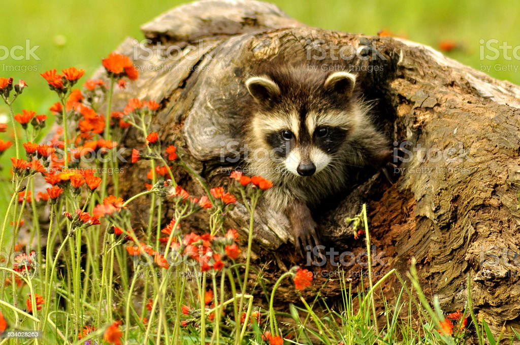 Young raccoon in a den log with orange wildflowers. stock photo