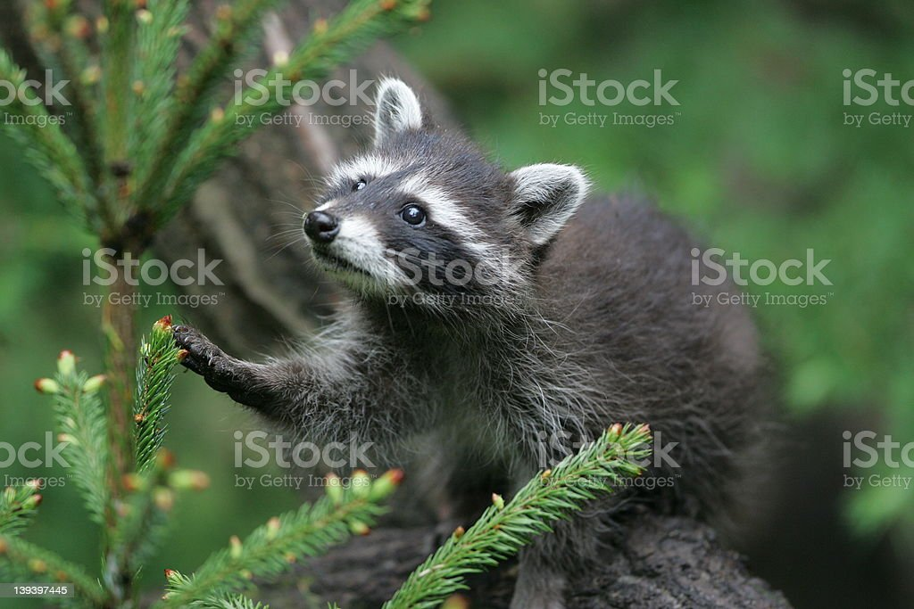 young raccoon in the trees royalty-free stock photo