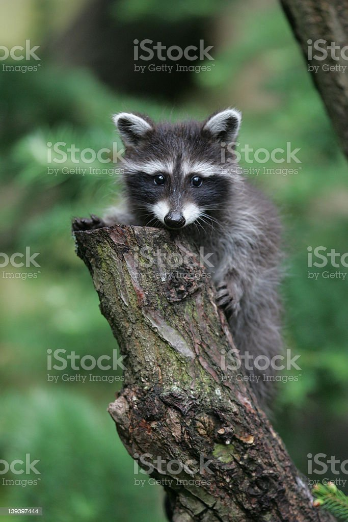 young raccoon on a tree royalty-free stock photo