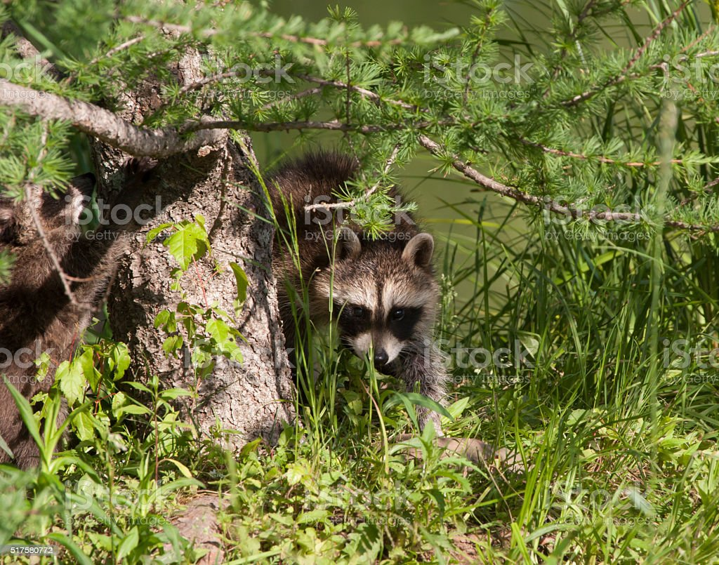 Young Raccoon Peeking out of the Woods stock photo