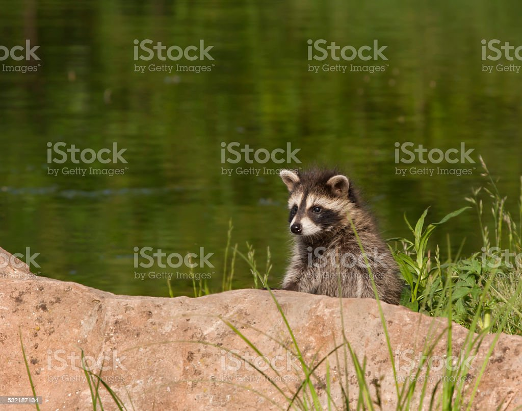 Young Raccoon Peeking over a Rock stock photo