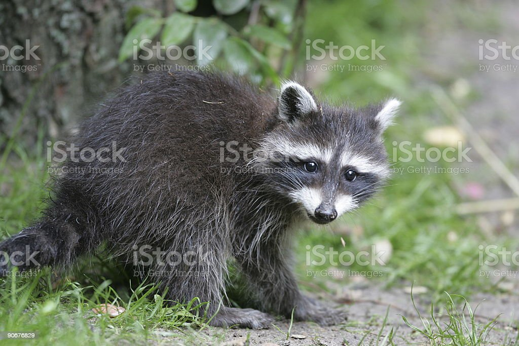 young raccoon royalty-free stock photo