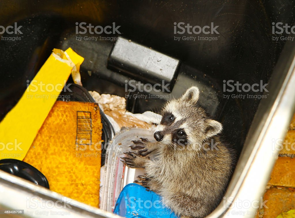 Young raccoon stuck in a garbage stock photo