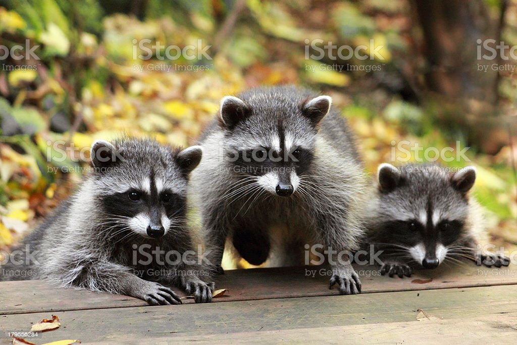 Young Raccoons stock photo