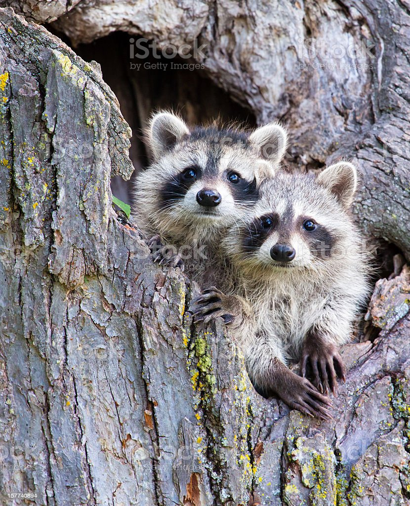 Young Racoons stock photo
