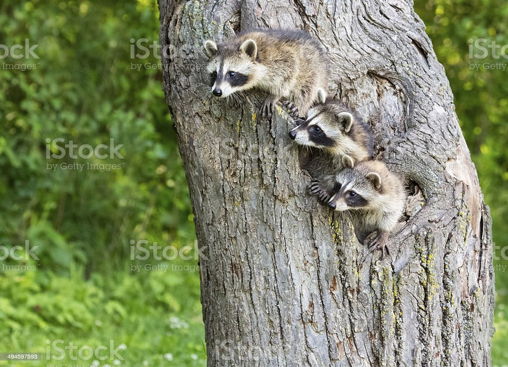 Young Racoons royalty-free stock photo