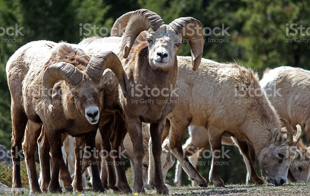 Young Ram Bighorns with Ewes stock photo