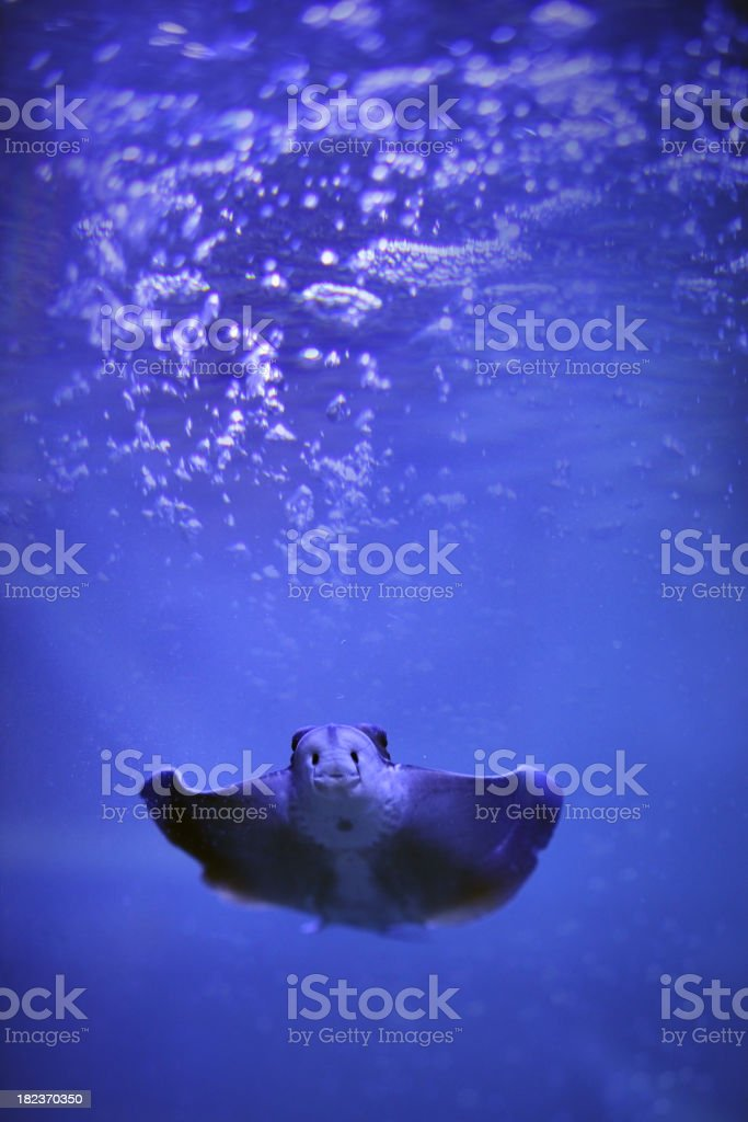Young ray royalty-free stock photo