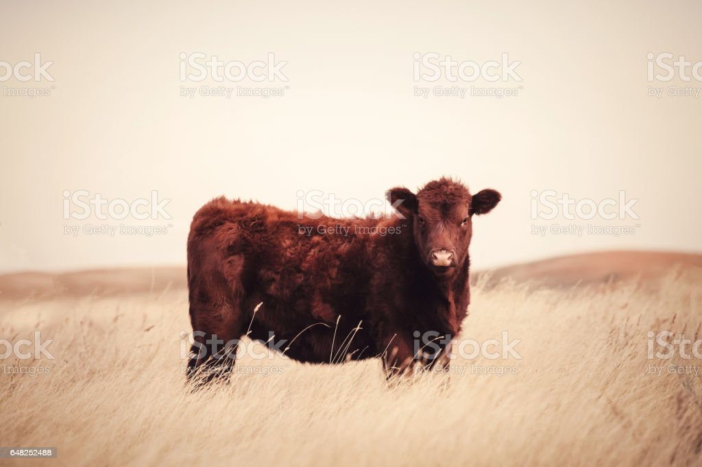 Young Red Angus Cow On Montana Prairie stock photo