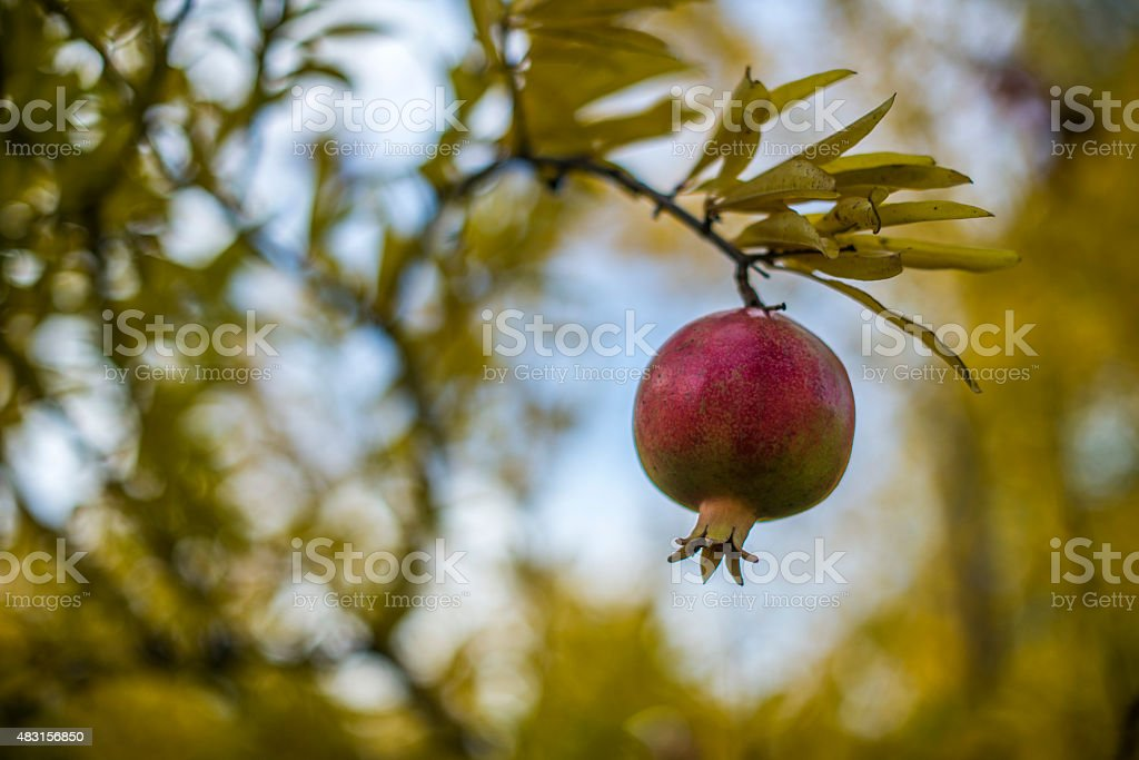 Young red apple fruit stock photo