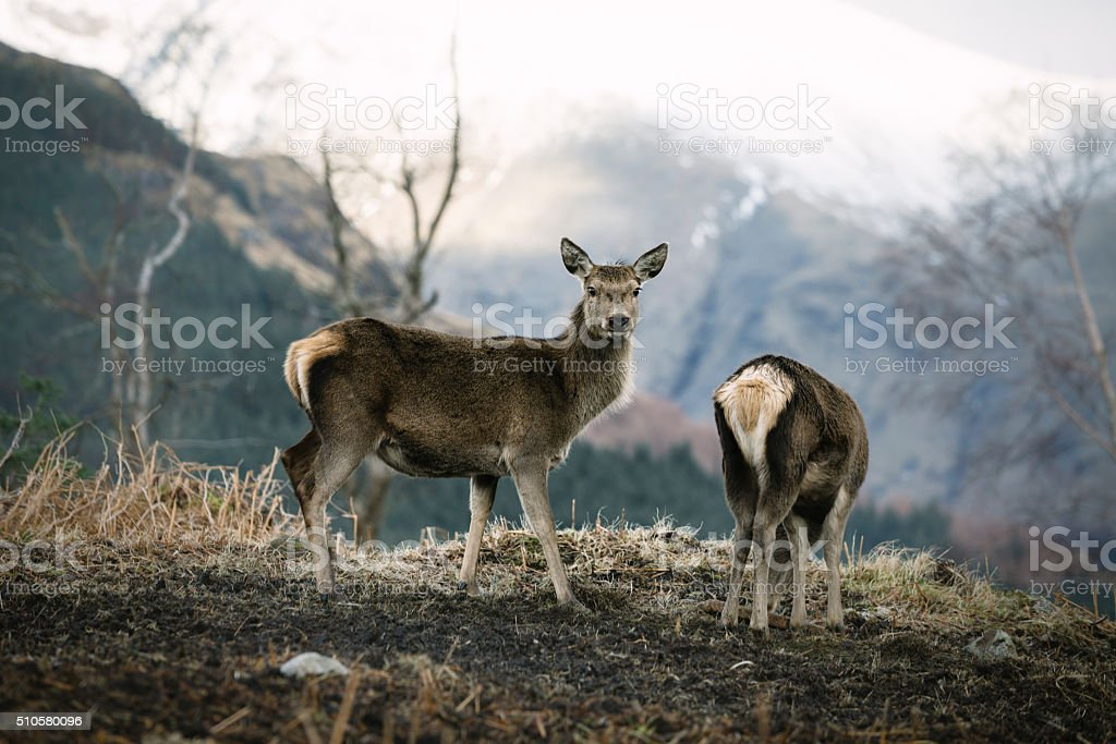 Young Red Deer In Glen Etive stock photo