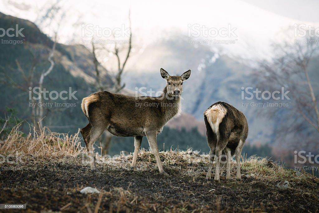 Young Red Deer In Glen Etive stock photo