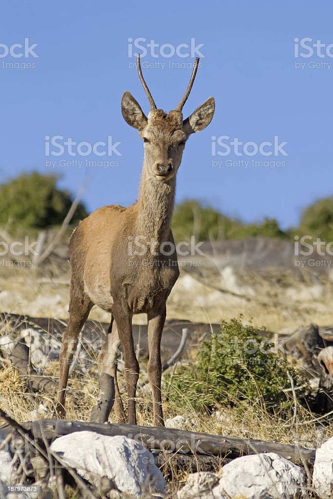 Young Red Deer royalty-free stock photo