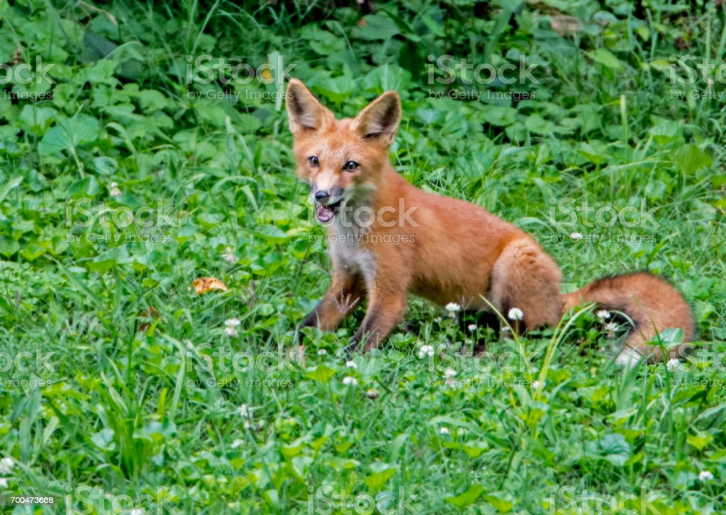 Young Red Fox looking at the camera yawning. stock photo