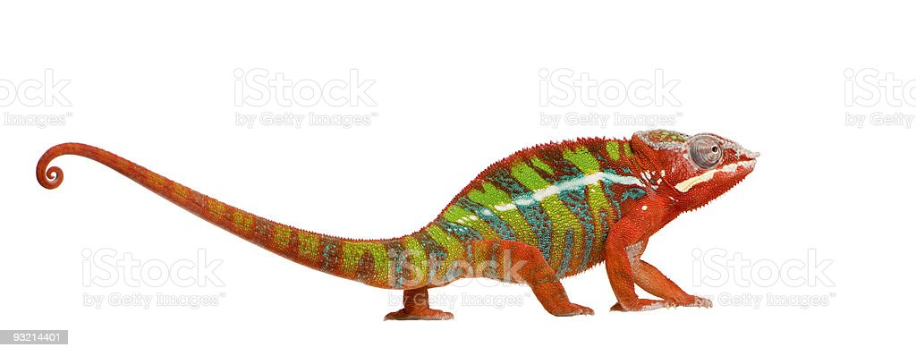 Young red, green, and blue Ambilobe panther chameleon stock photo