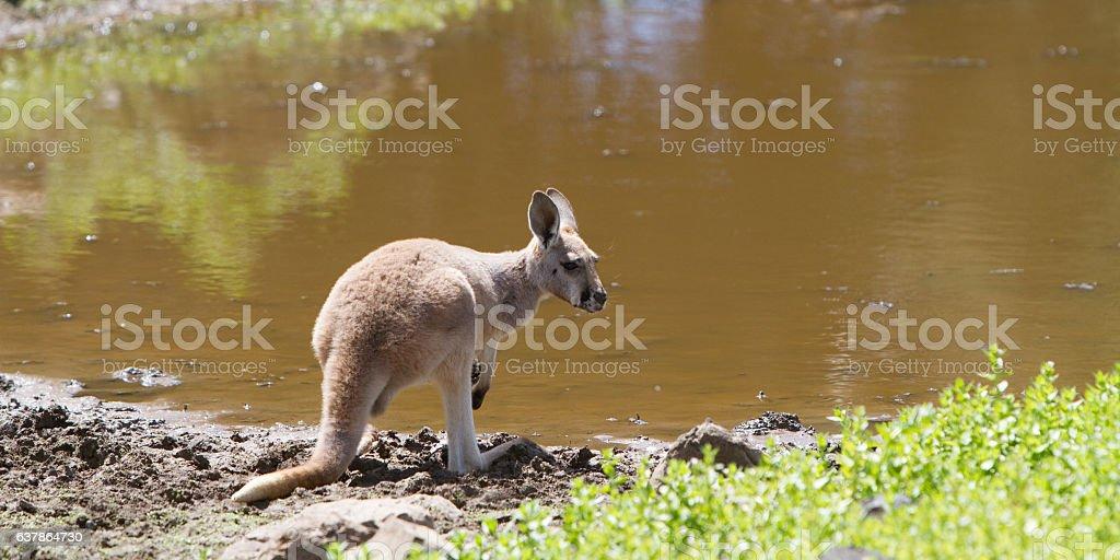 Young Red Kangaroo at the Waterhole stock photo