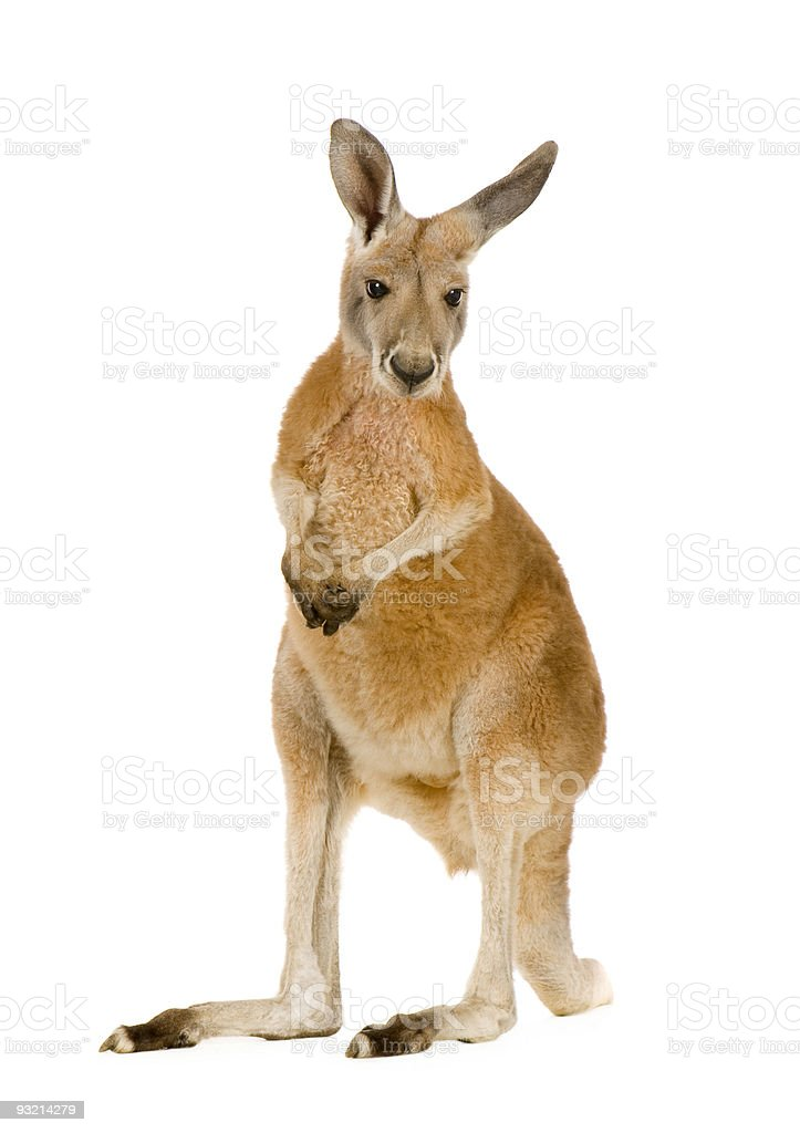 Young red kangaroo (9 months) - Macropus rufus stock photo