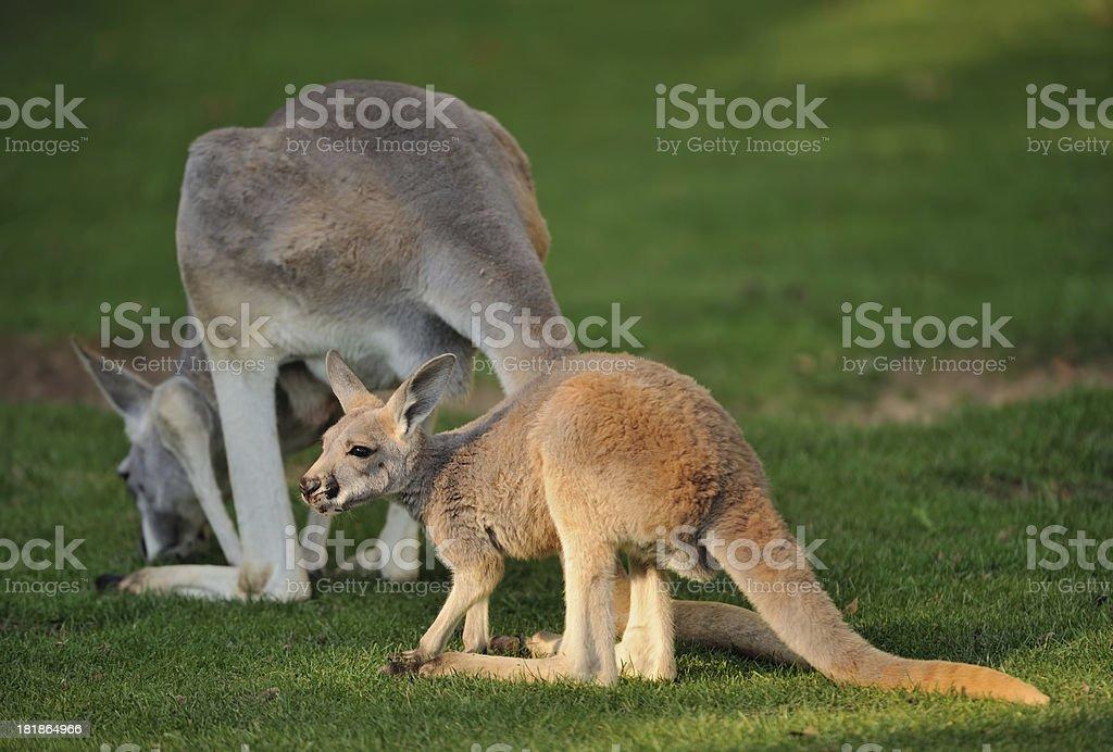 young red kangaroo royalty-free stock photo